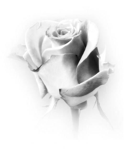 PREGRST RUZA POKLANJAM TI... - Page 2 Růže